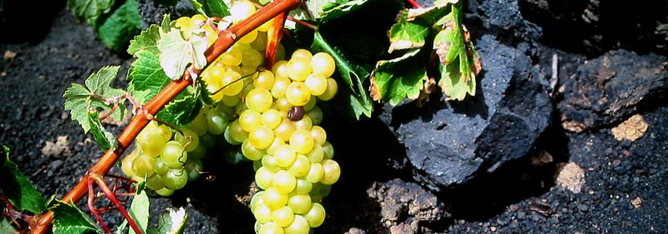 SORTEN DIE VOR DER REBLAUS BESTANDENPraktisch alle unsere Weinberge sind unveredelt gepflanzt, da La Palma nicht von der Reblaus (einer aus Nordamerika stammenden Seuche, die Ende des 18. Jahrhundert die europäischen Weinberge verwüstete) befallen wurden und also auf der Insel Weinsorten erhalten geblieben sind, die im Jahr 1505 durch die Eroberer und später durch Siedler hergebracht wurden. Viele dieser uralten Sorten sind an den Ursprungsorten schon verschwunden.