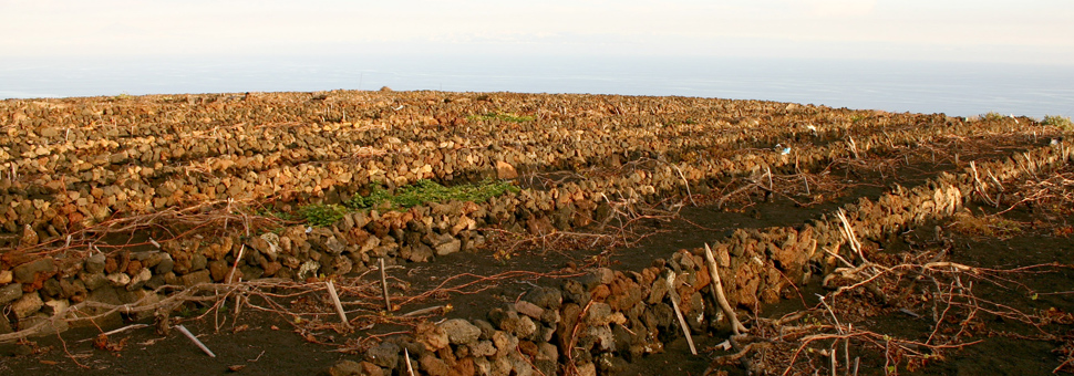 VULKANISCHE BÖDENDie Weinberge befinden sich an steilen Abhängen, auf denen durch zumindest eindrucksvolles Mauerwerk kleinflächige Beete angelegt wurden. Da früher kargere und am Rande gelegene Böden für den Anbau der Weinreben genutzt wurden, da die besseren Böden für Anbau des Grundbedarfs wie Getreide, Kartoffeln etc. genutzt wurden, lernte der Landwirt auf la Palma Vulkanschlacken in produktive Böden umzuwandeln.